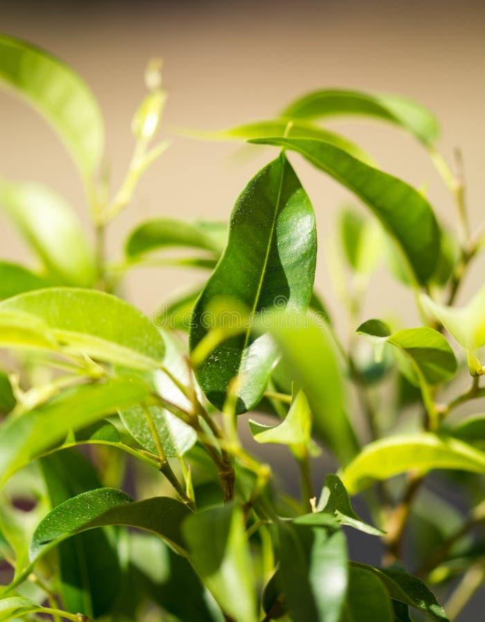 很多绿色叶子在春天 免版税库存图片