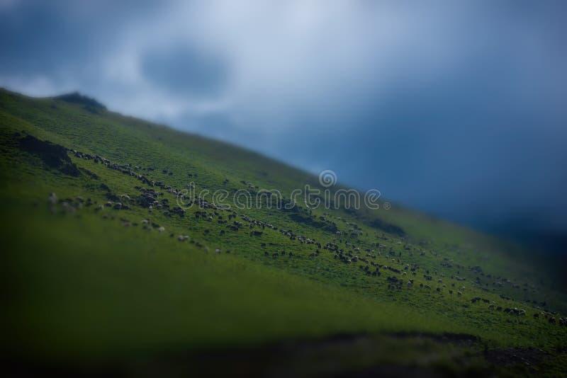 很多绵羊在一座壮观的山的倾斜吃草在高加索 库存照片