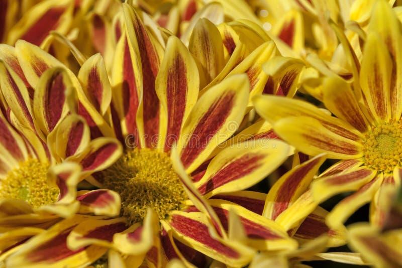 很多Chrysanthemum湖价值 库存图片