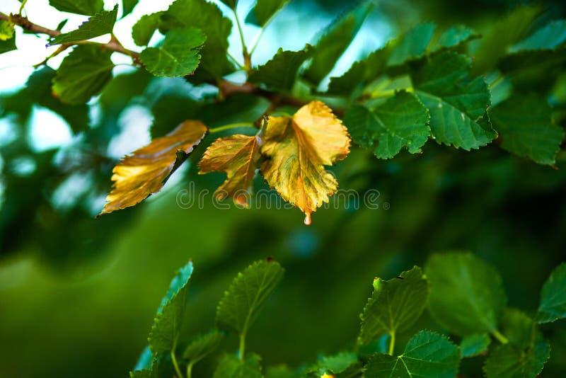 很快秋天,叶子转动金黄 库存图片