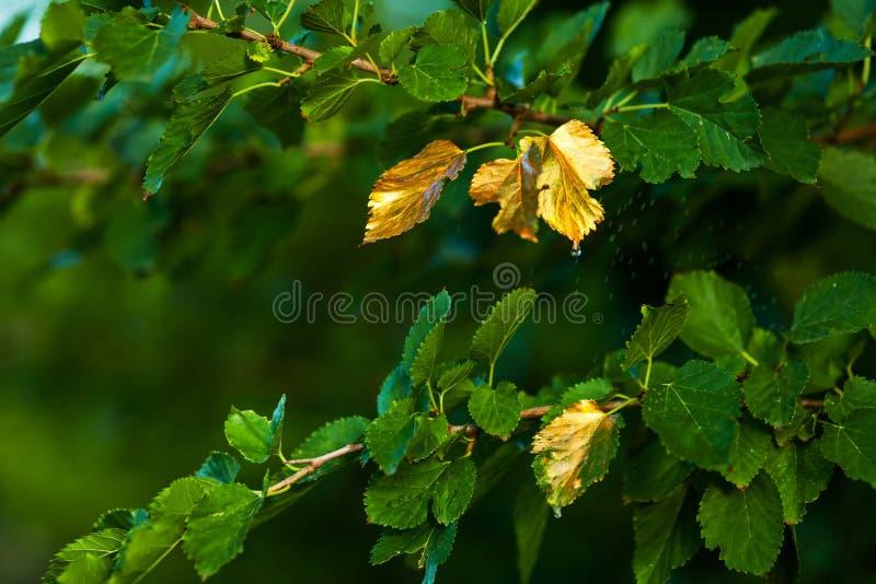 很快秋天,叶子转动金黄 免版税库存图片