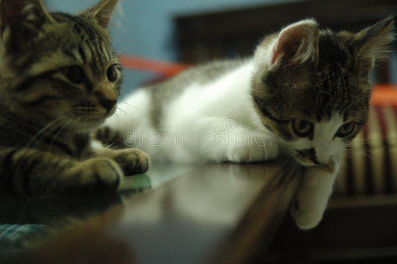 很逗人喜爱美丽的家猫-可爱的动物 库存照片