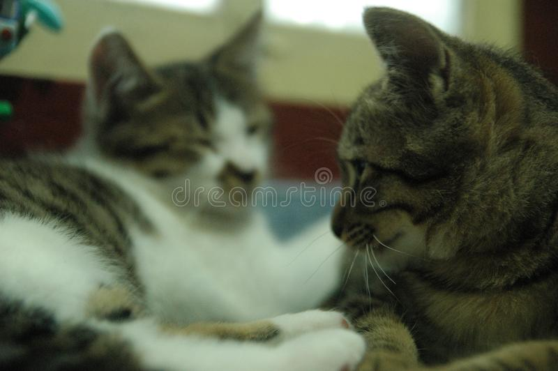 很逗人喜爱美丽的家猫-可爱的动物 库存图片