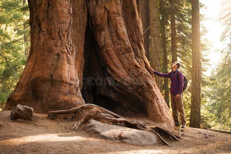 徒步旅行者人在美洲杉国家公园 看巨型美国加州红杉树,加利福尼亚,美国的旅客男性 库存照片