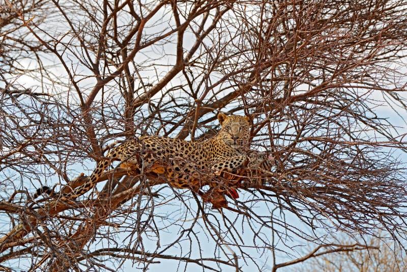 徒步旅行队在纳米比亚 在树的豹子与抓住,动物行为 喂养幼小斑马的埃托沙国家公园的大猫 库存图片