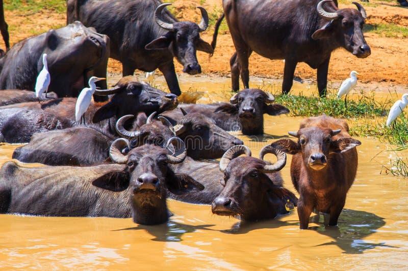 徒步旅行队天,放松在水坑的小组水牛 库存照片