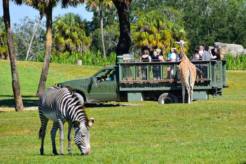 徒步旅行队游览哺养的长颈鹿的人们 斑马defocused在前景 在布什庭院砸紧 免版税图库摄影