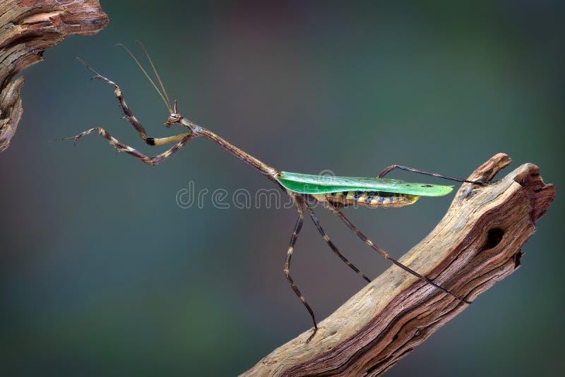 得克萨斯到达独角兽的螳螂  免版税库存照片