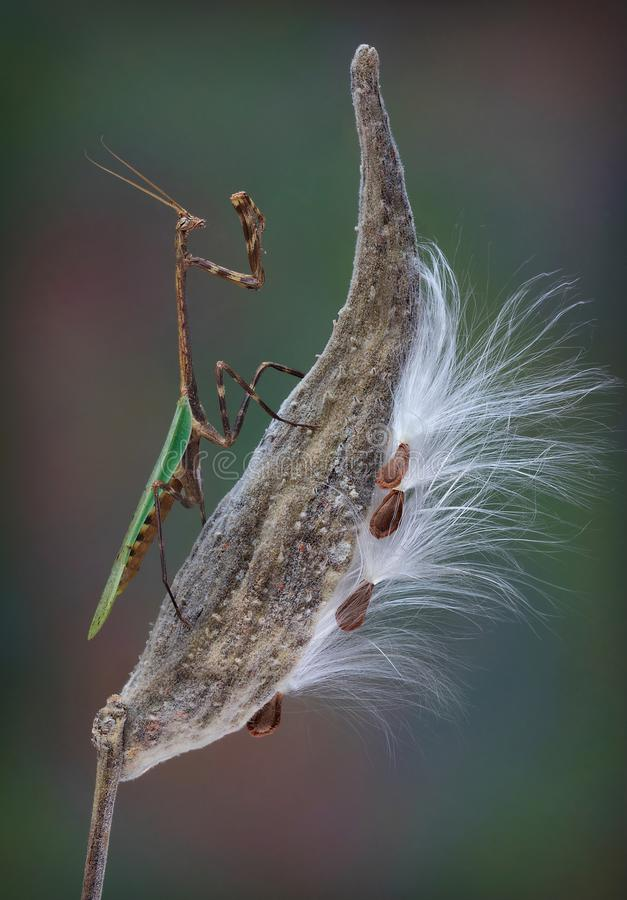 得克萨斯在乳草荚的独角兽螳螂 库存照片