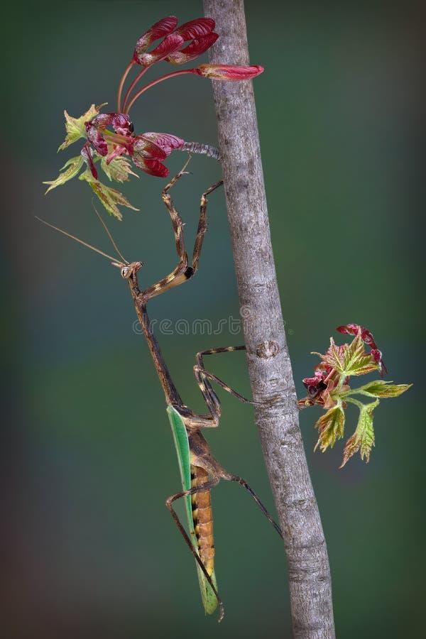 得克萨斯在发芽的槭树分支的独角兽螳螂 库存照片