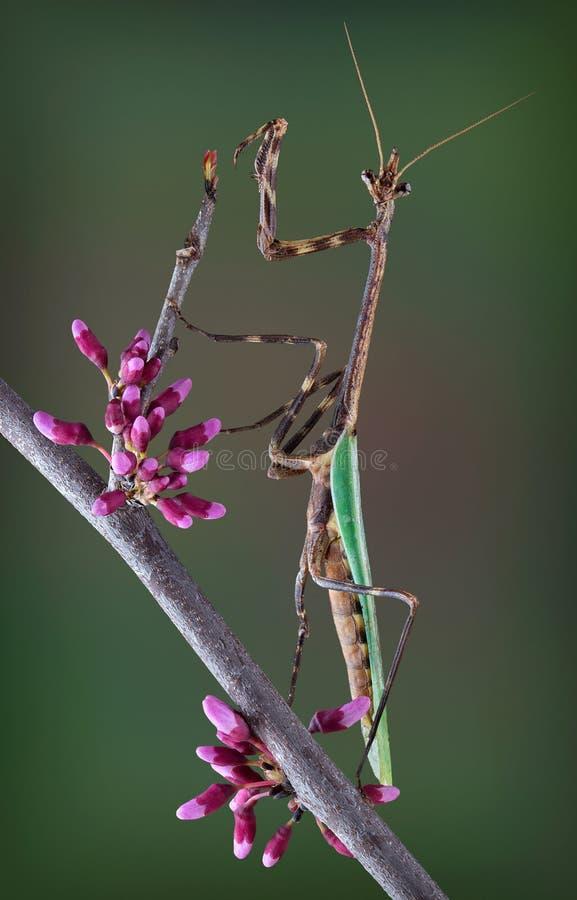 得克萨斯在春天分支的独角兽螳螂 免版税库存照片