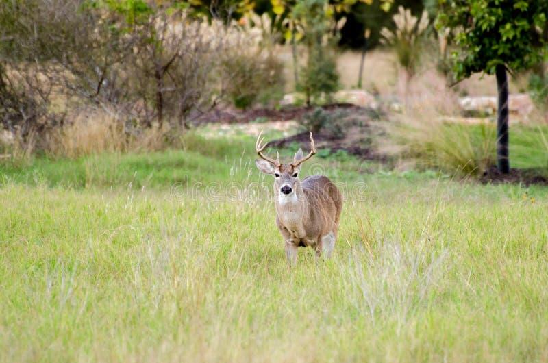 得克萨斯小山国家八指向白色被盯梢的鹿大型装配架 库存图片