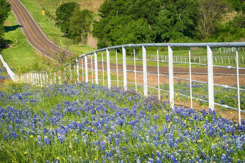 得克萨斯沿路的边的矢车菊野花 库存图片
