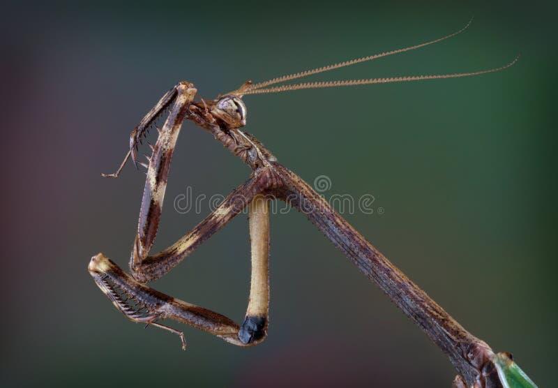 得克萨斯清洗他的腿的独角兽螳螂 免版税库存图片