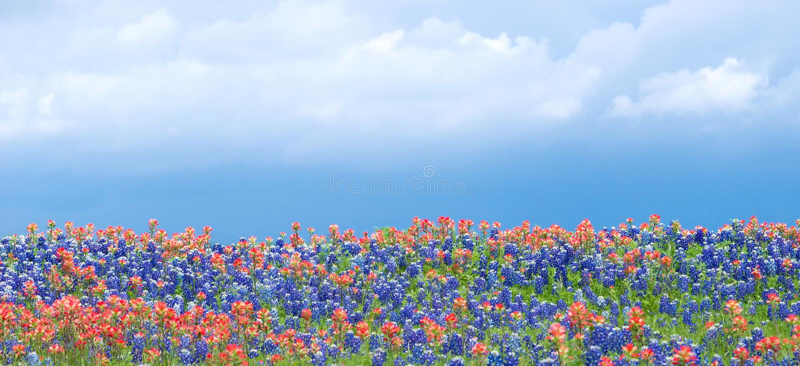 得克萨斯矢车菊和印度画笔野花 免版税图库摄影