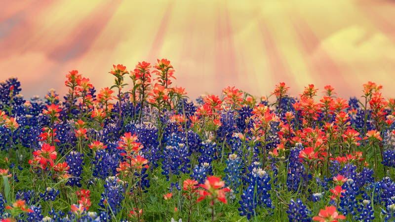 得克萨斯矢车菊和开花在草甸的印度画笔野花在春天 库存图片