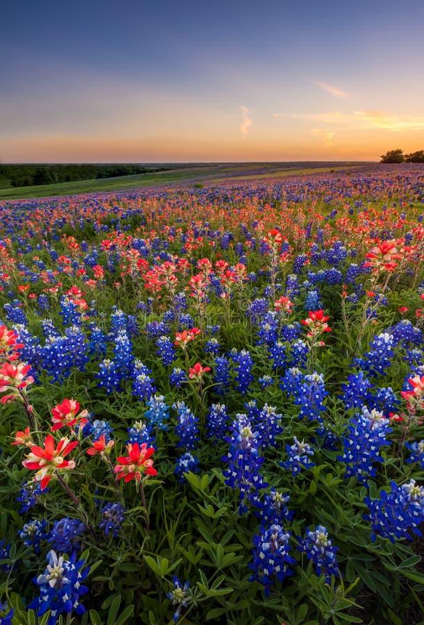 得克萨斯野花-矢车菊和印度画笔在日落调遣 库存图片