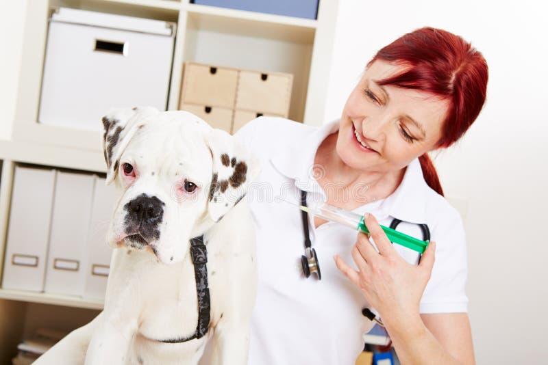 得到免疫的狗从 免版税库存照片