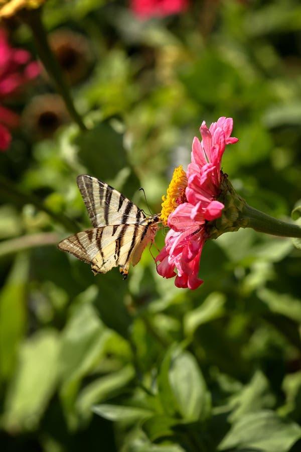 得到在一朵桃红色百日菊属Elegans花的一只缺乏Swallowtail Iphiclides Podalirius蝴蝶的宏指令花蜜反对被弄脏的nat 免版税库存照片