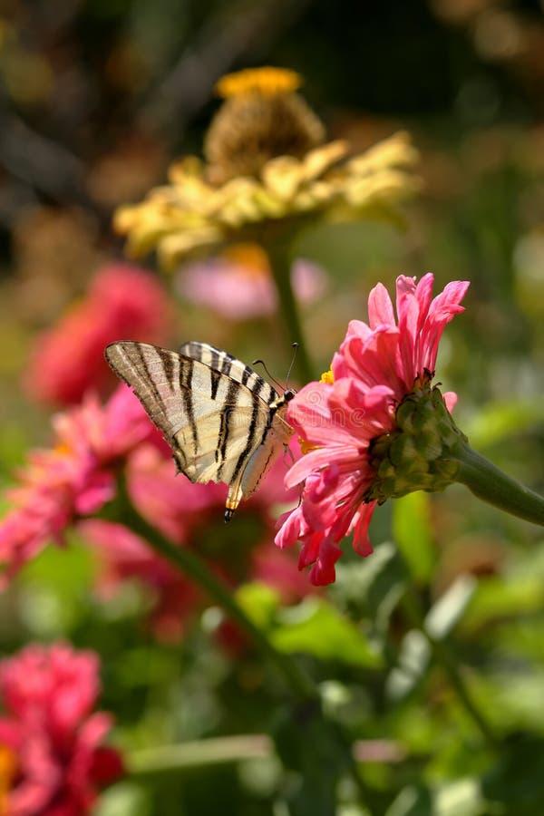 得到在一朵桃红色百日菊属Elegans花的一只缺乏Swallowtail Iphiclides Podalirius蝴蝶的宏指令花蜜反对被弄脏的vib 免版税库存照片