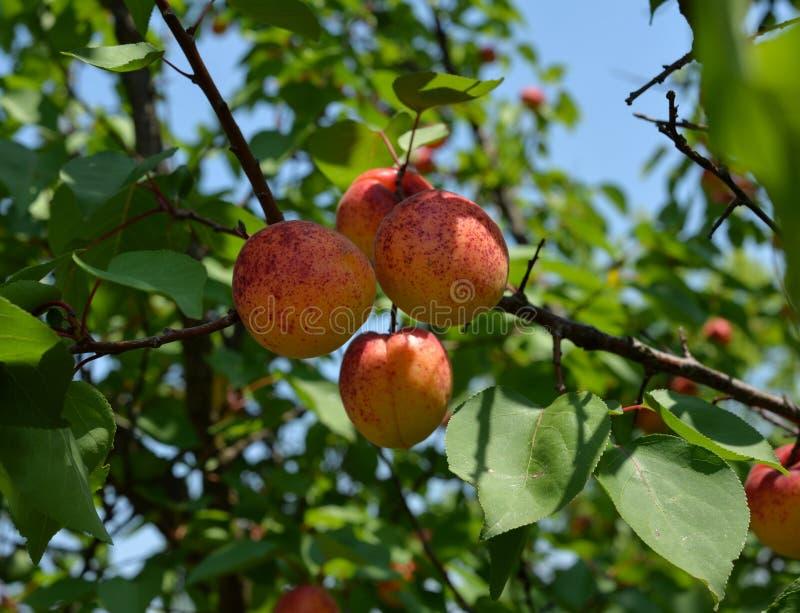得到成熟被察觉的杏子沐浴在阳光下 图库摄影