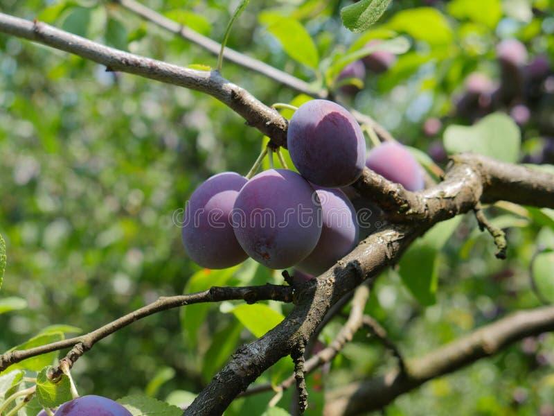 得到紫色的李子沐浴在阳光下 库存图片