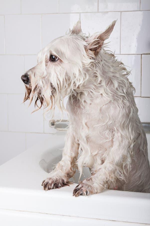 得到浴的狗 免版税库存照片