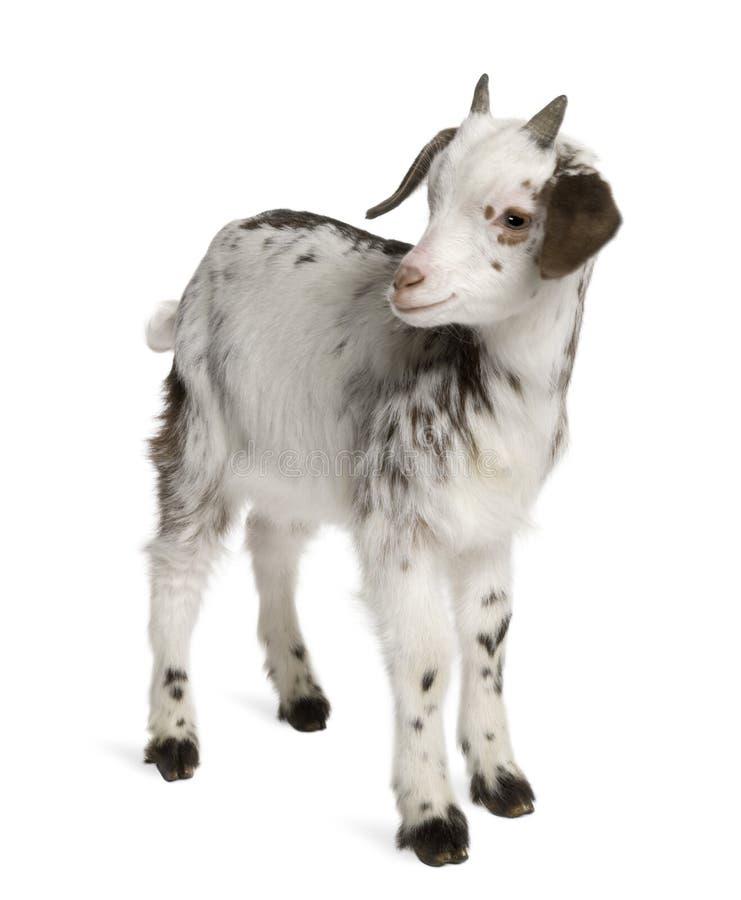 徘徊山羊孩子,1个月大 免版税库存图片