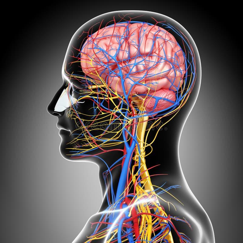 头循环和神经系统  皇族释放例证