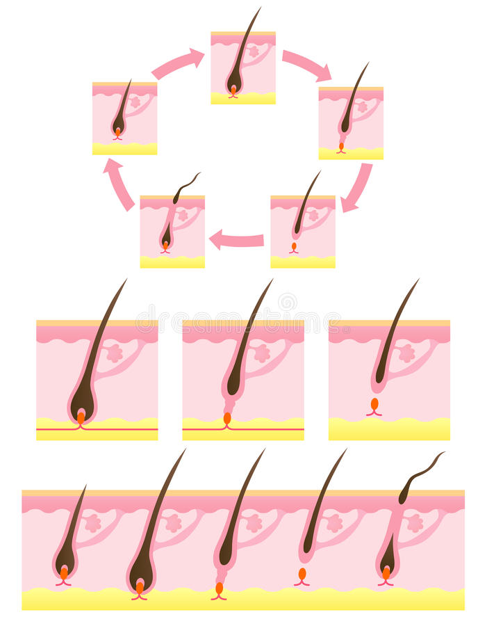 循环头发 库存例证