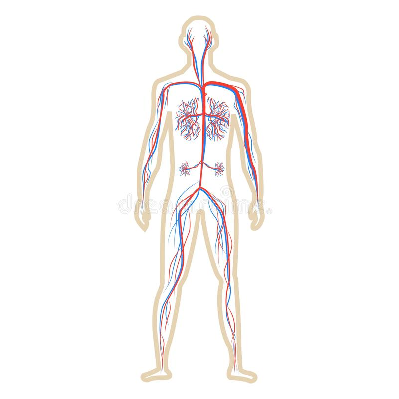 循环系统人白色背景传染媒介例证的 向量例证