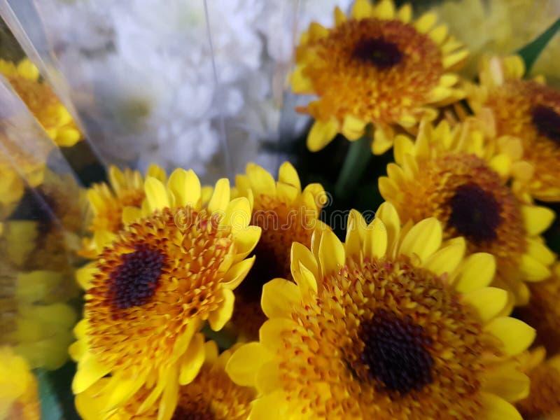 微型太阳花 库存图片