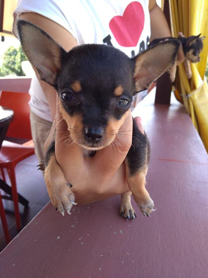微型小狗 免版税库存图片