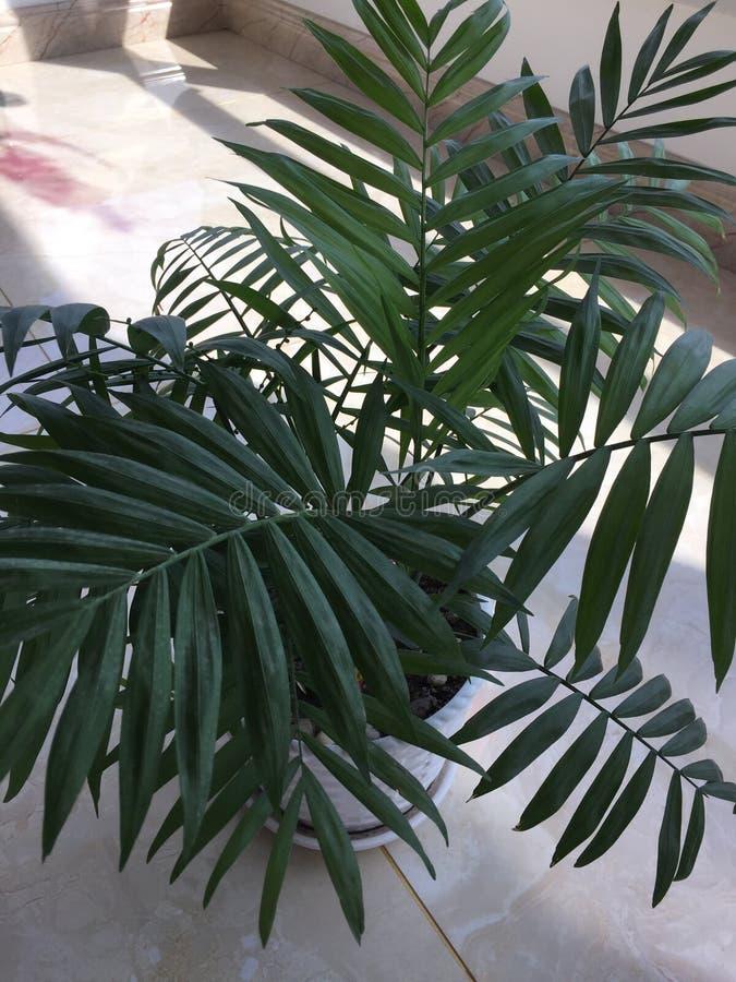 微型椰子树 免版税库存照片