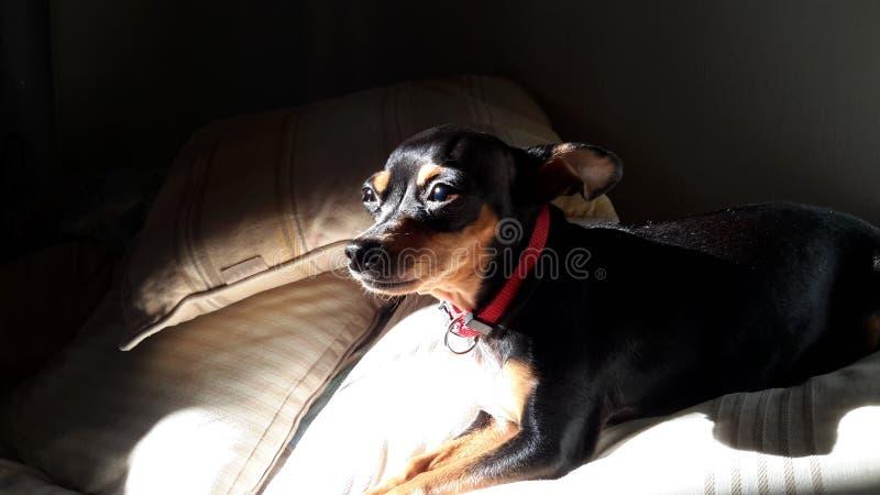 微型短毛猎犬关闭 图库摄影