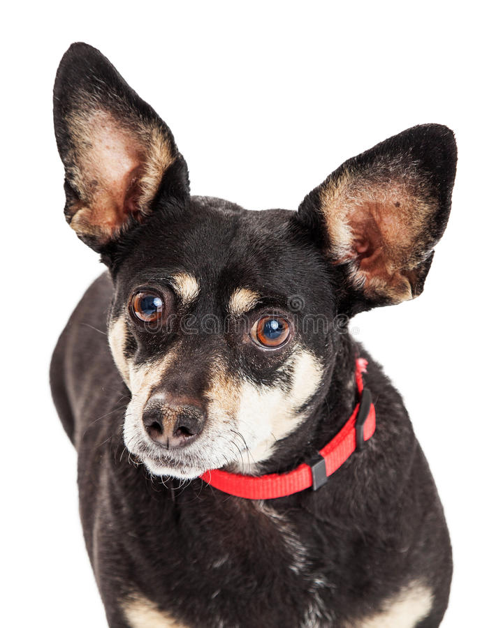 微型短毛猎犬和奇瓦瓦狗杂种特写镜头 库存图片