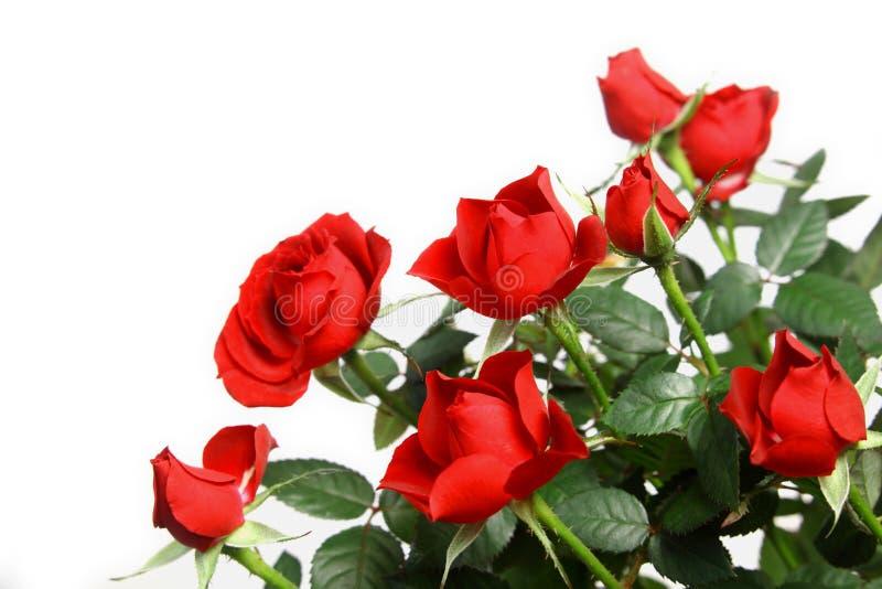 微型红色玫瑰 免版税库存图片