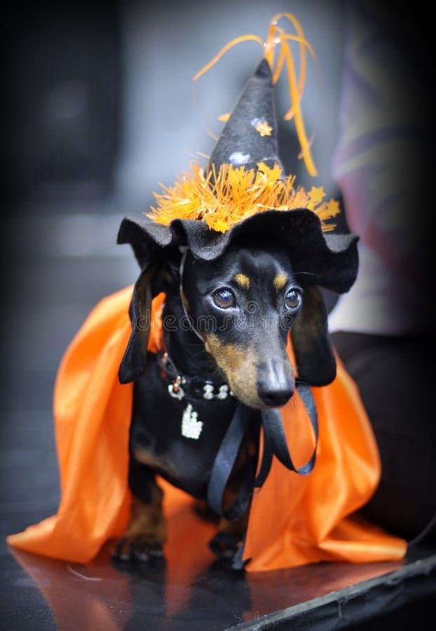 微型达克斯猎犬 免版税库存照片