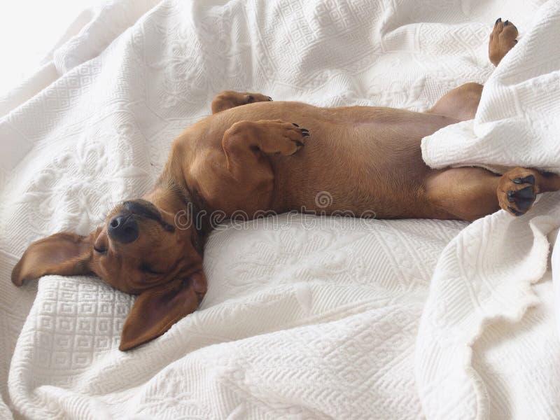 微型达克斯猎犬 免版税库存图片