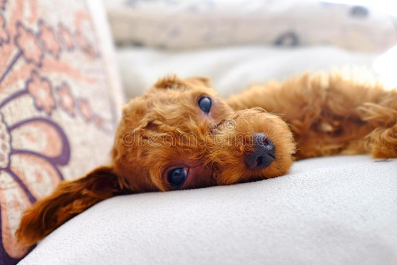 微型逗人喜爱的狗 免版税库存照片
