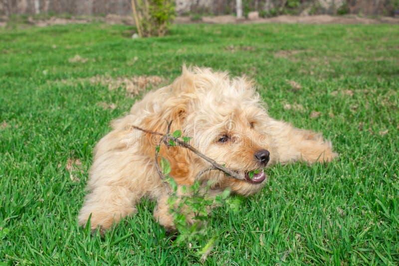 微型Goldendoodle小狗在绿色草坪走户外 库存图片