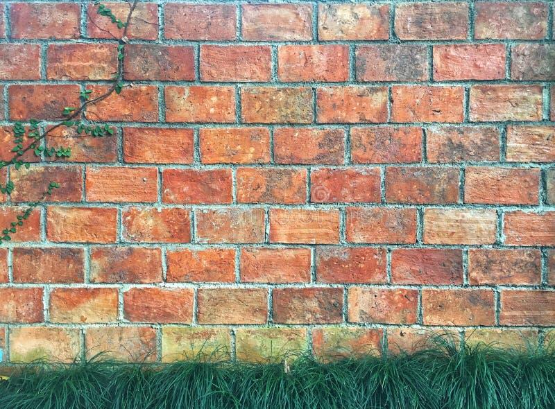 微型mondo草和生长在橙色砖的爬行无花果有水泥背景 免版税库存照片