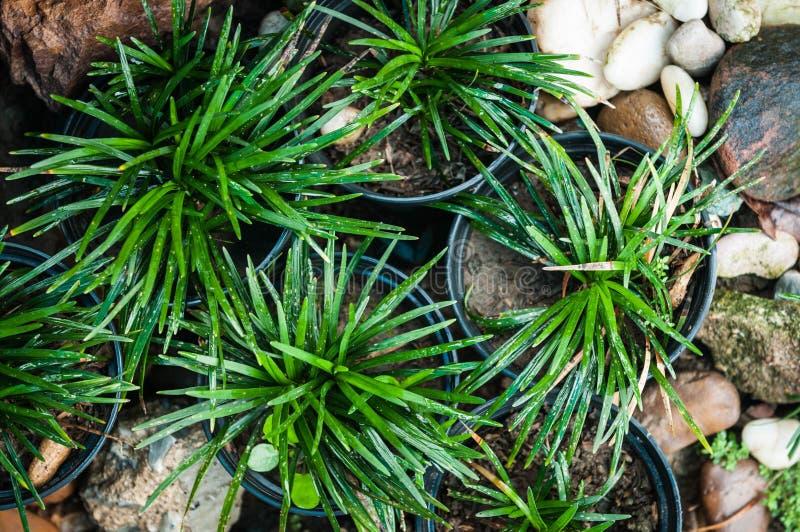 微型Mondo草在庭院里 库存图片