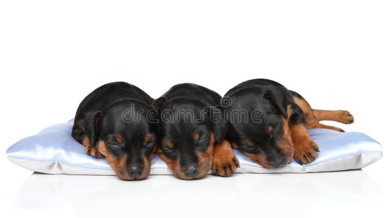 微型Zwerg短毛猎犬小狗睡觉 库存图片