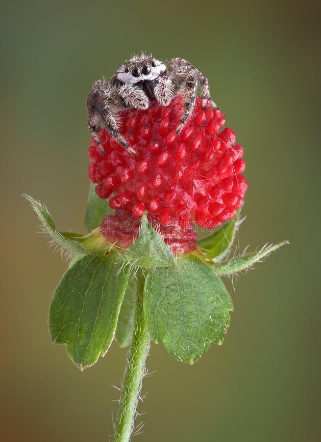 微小果子跳的蜘蛛 图库摄影