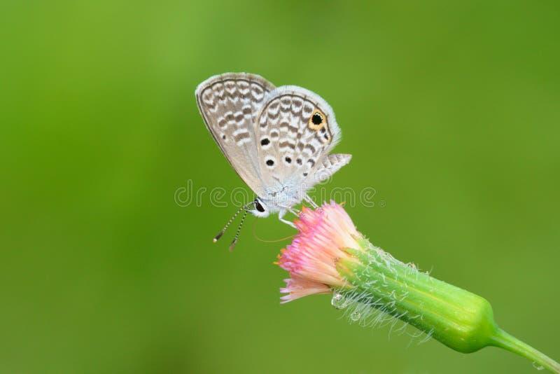 微小的东部被盯梢的蓝色Cupido comyntas 库存照片
