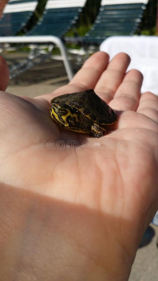 微小的乌龟 免版税图库摄影