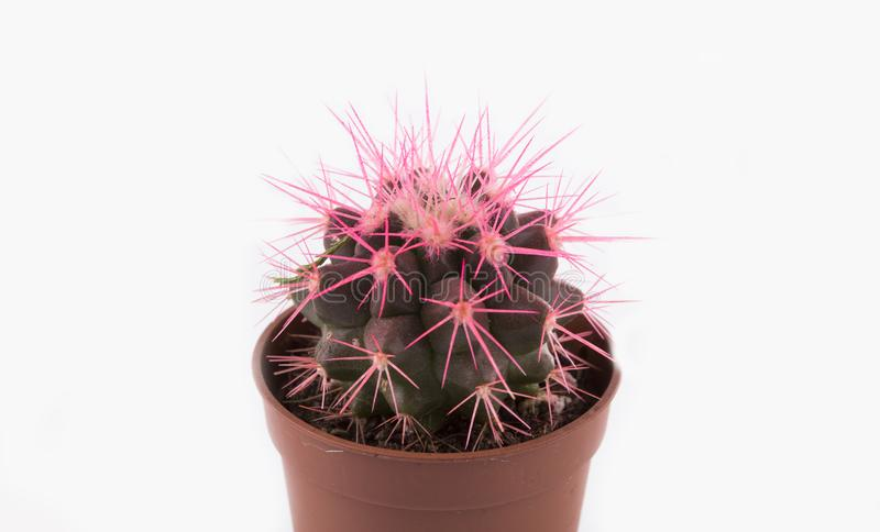 微小的仙人掌,植物 图库摄影