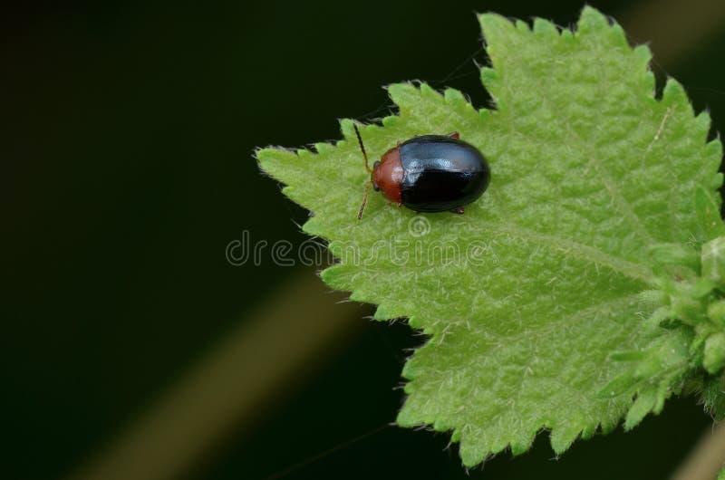 微小的发光的叶子甲虫 免版税库存照片
