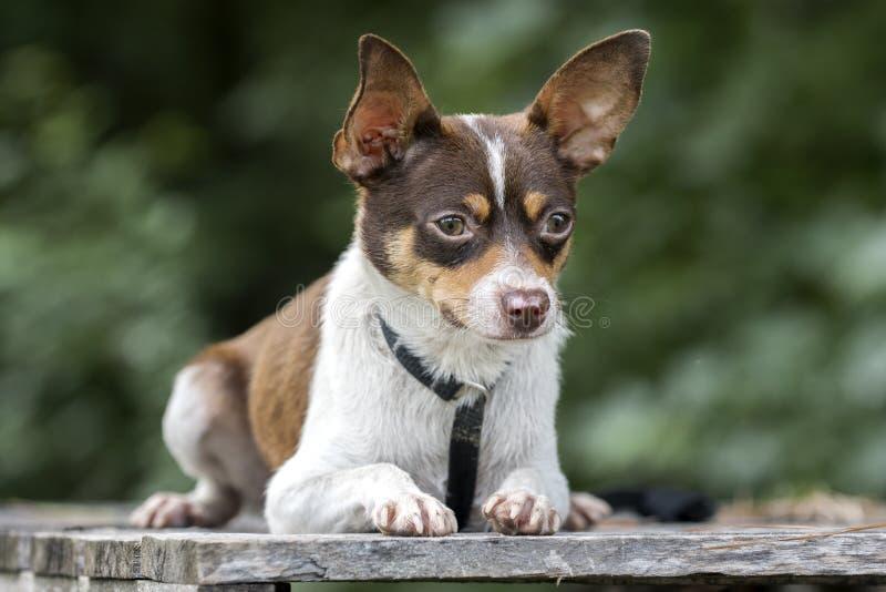 微小的奇瓦瓦狗鼠狗混合了品种狗宠物收养照片 免版税库存照片